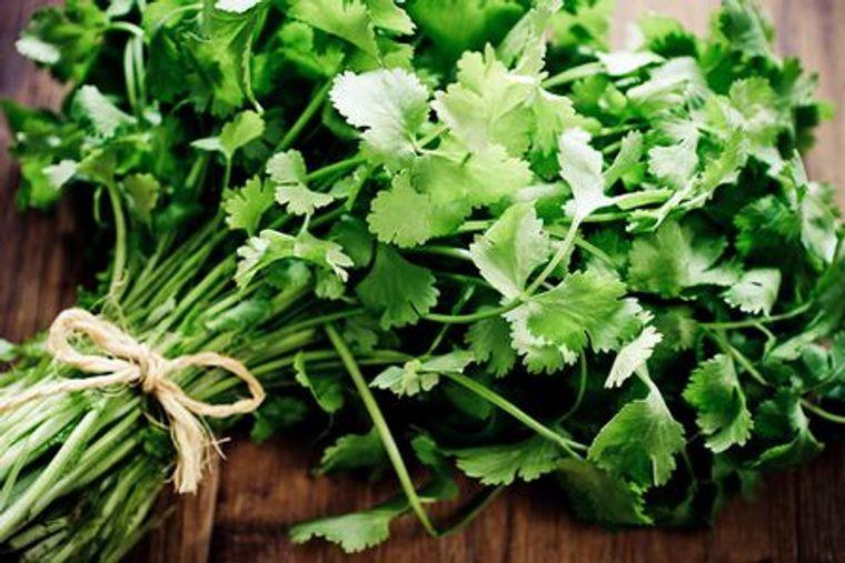 hierbas cilantro
