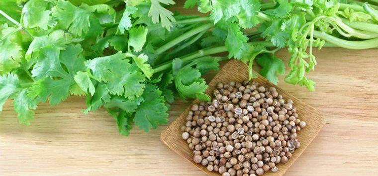 hierbas semilla cilantro