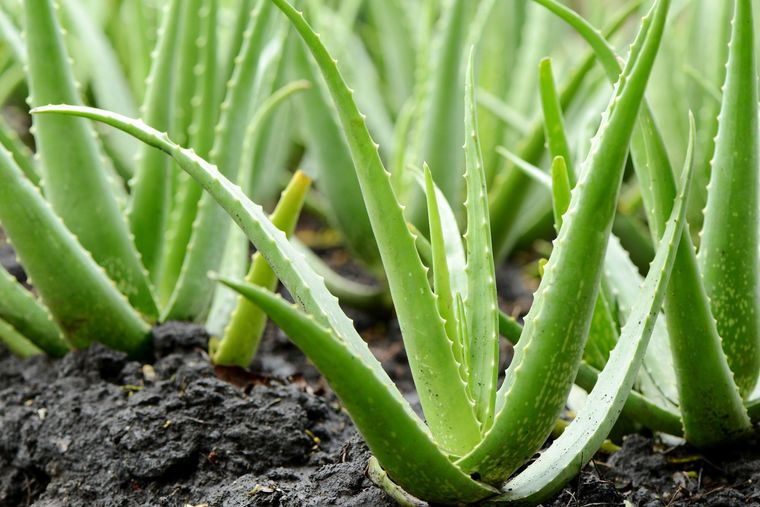 aloe air purifying plants