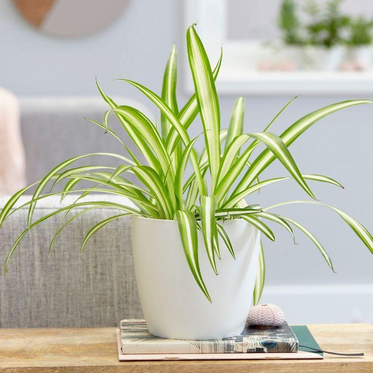 plantas purificadoras de aire araña