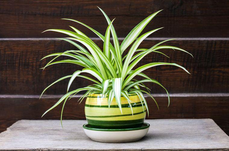 plantas purificadoras de aire arañas