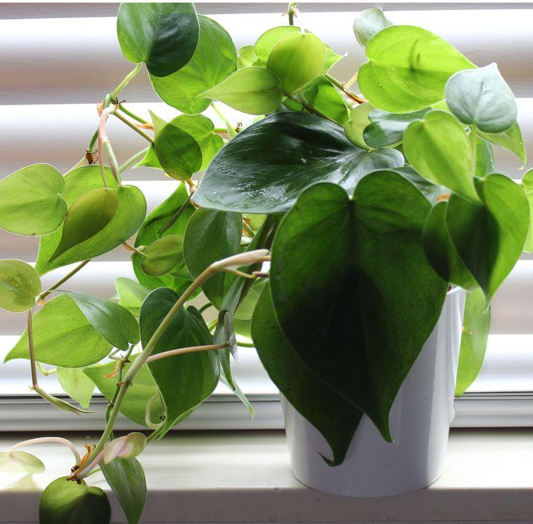coarzon air purifying plants