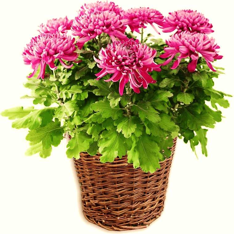 chrysanthemum air purifying plants