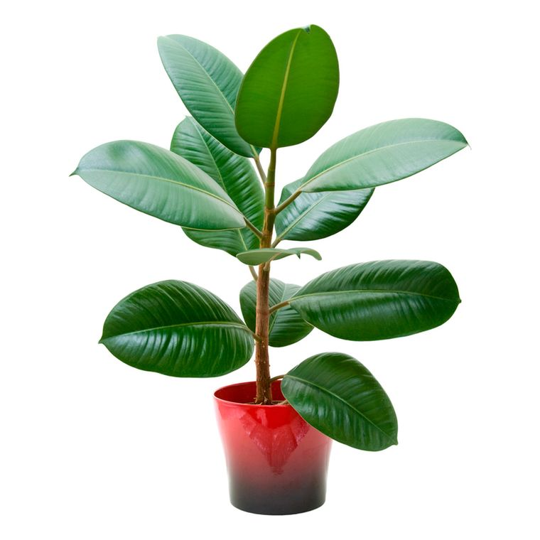 rubber air purifying plants