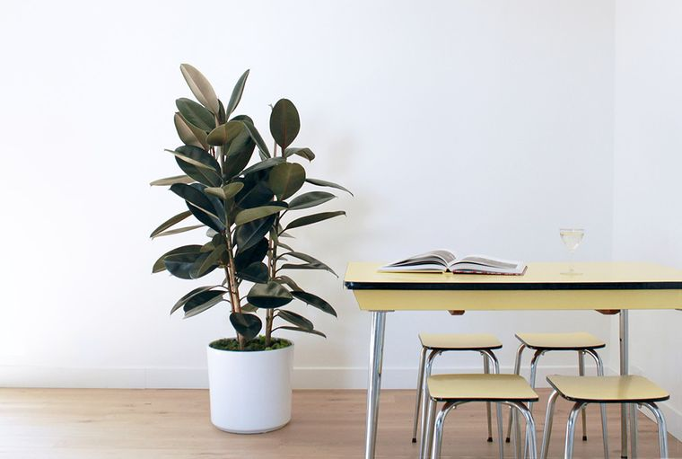 air purifying plants ficus
