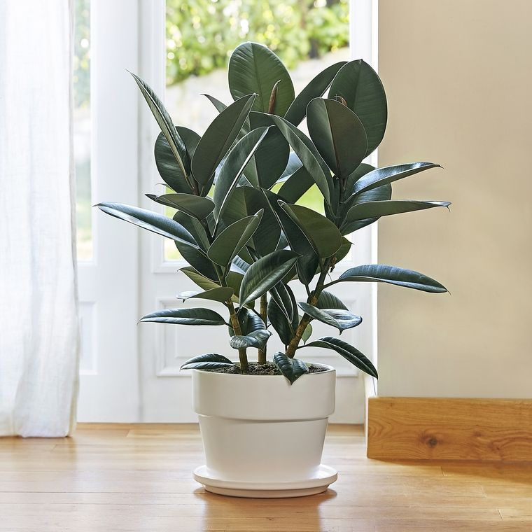 air purifying plants ficus2