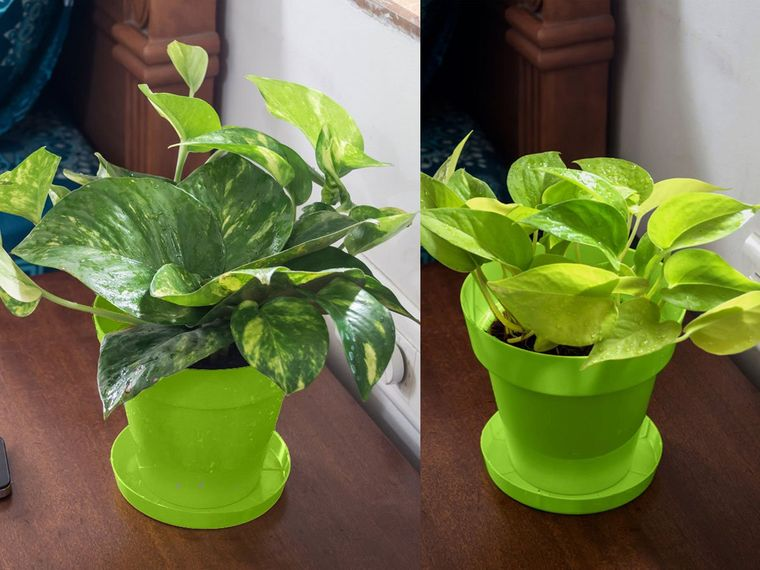 golden air purifying plants