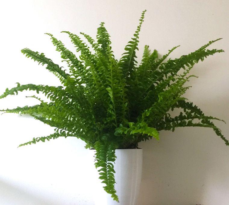 ferns air purifying plants