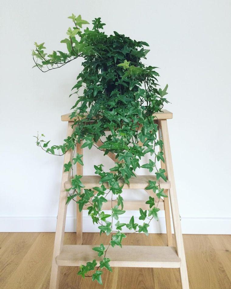 air purifying plants english ivy