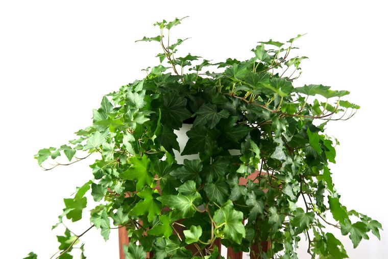 ivy air purifying plants