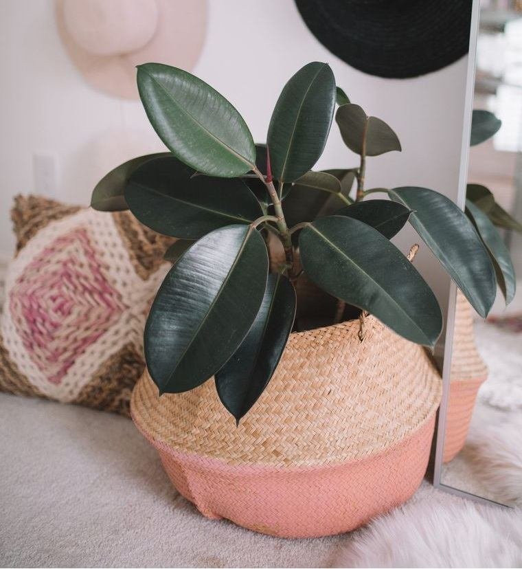 indoor air purifying plants rubber