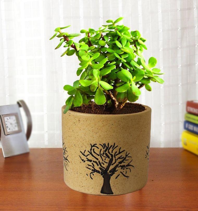 indoor air purifying plants jade