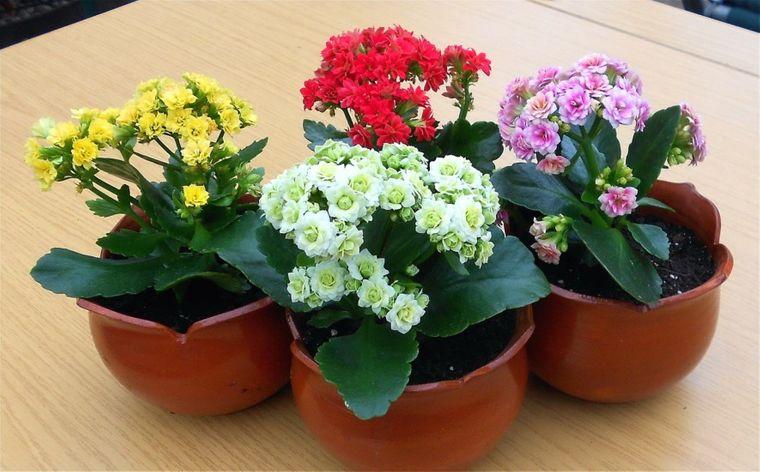 kalanchoe air purifying plants