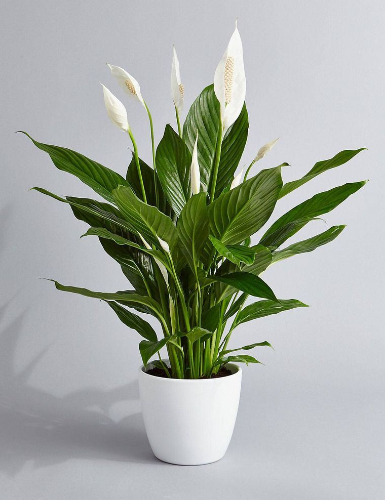lily air purifying plants