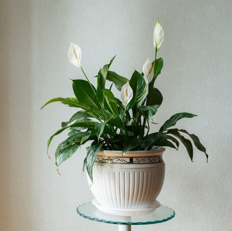 air purifying plants lilies