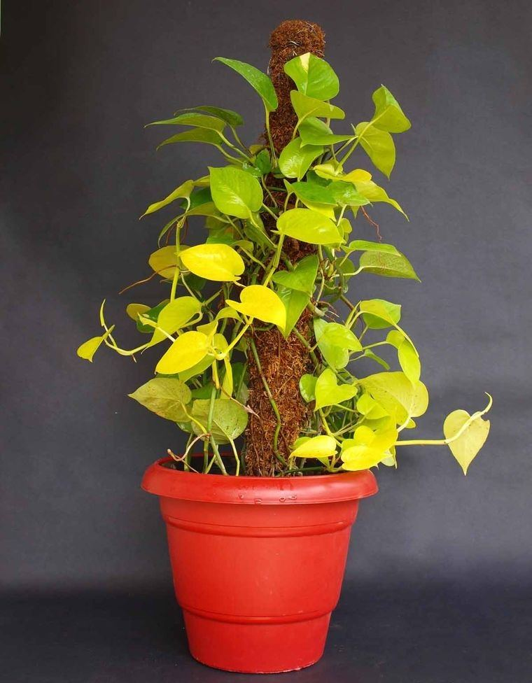 air purifying plants golden pothos