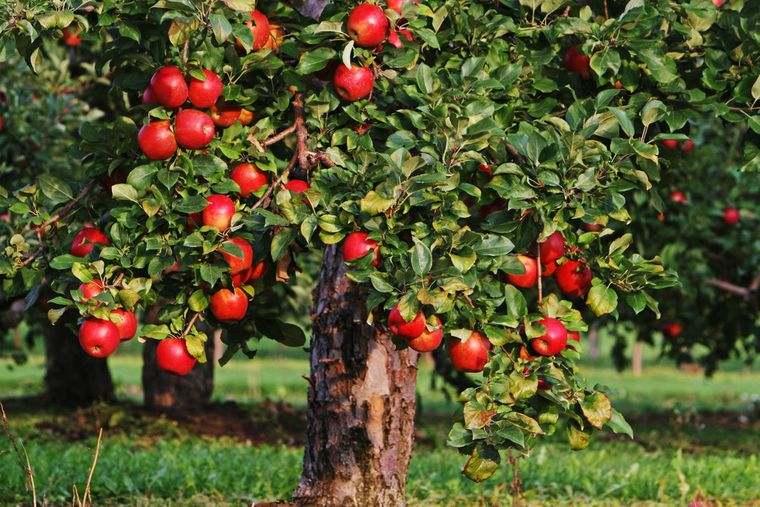 propiedades de la manzana arbol