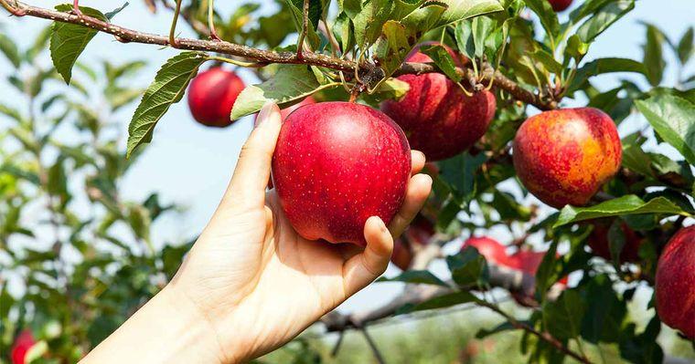 propiedades de la manzana cerebro