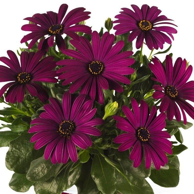 cuidado de las margaritas purpuras