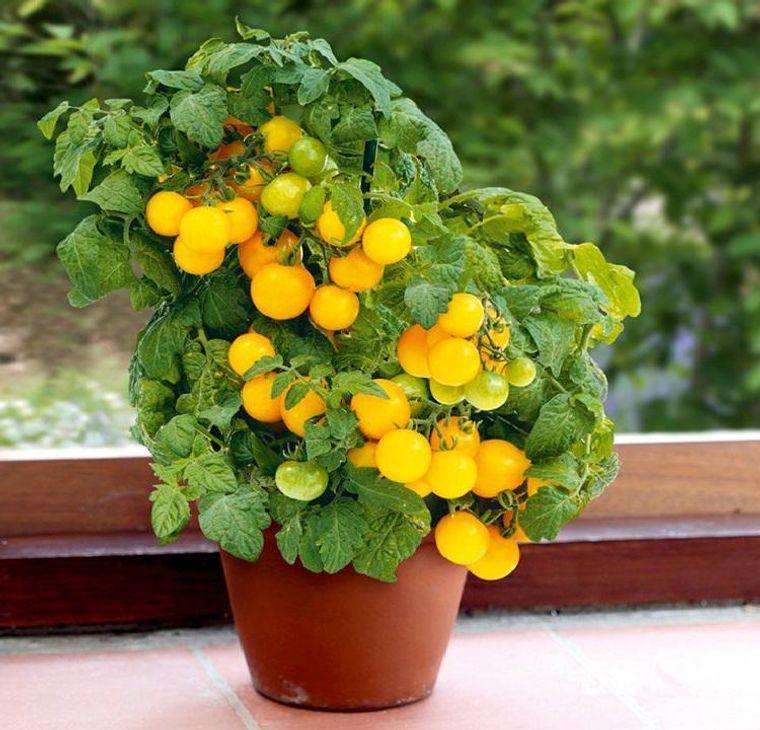 huerto ecológico tomate amarillo