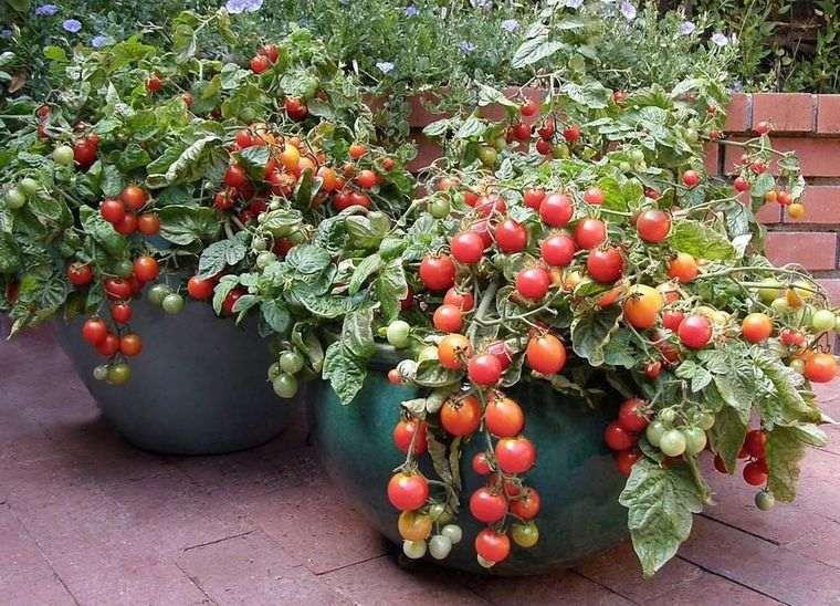huerto ecológico tomate maceta