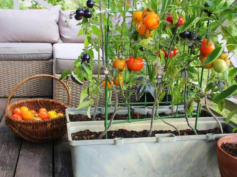 huerto ecológico tomates
