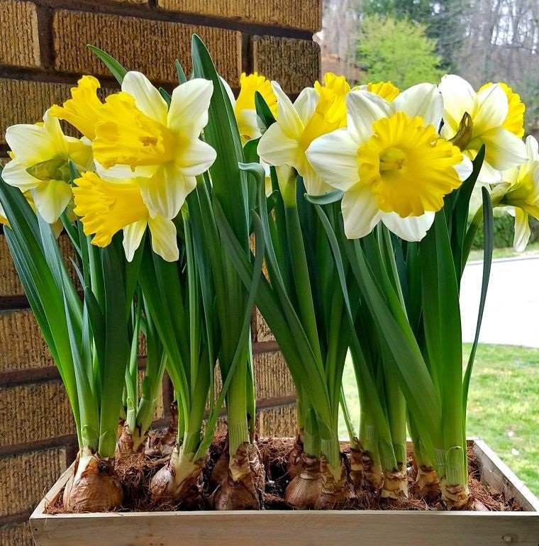 ideas para decorar cultivo narcisos