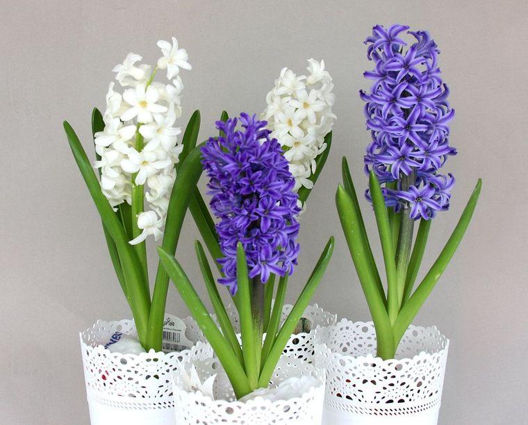 flores de jacinto blanco azul