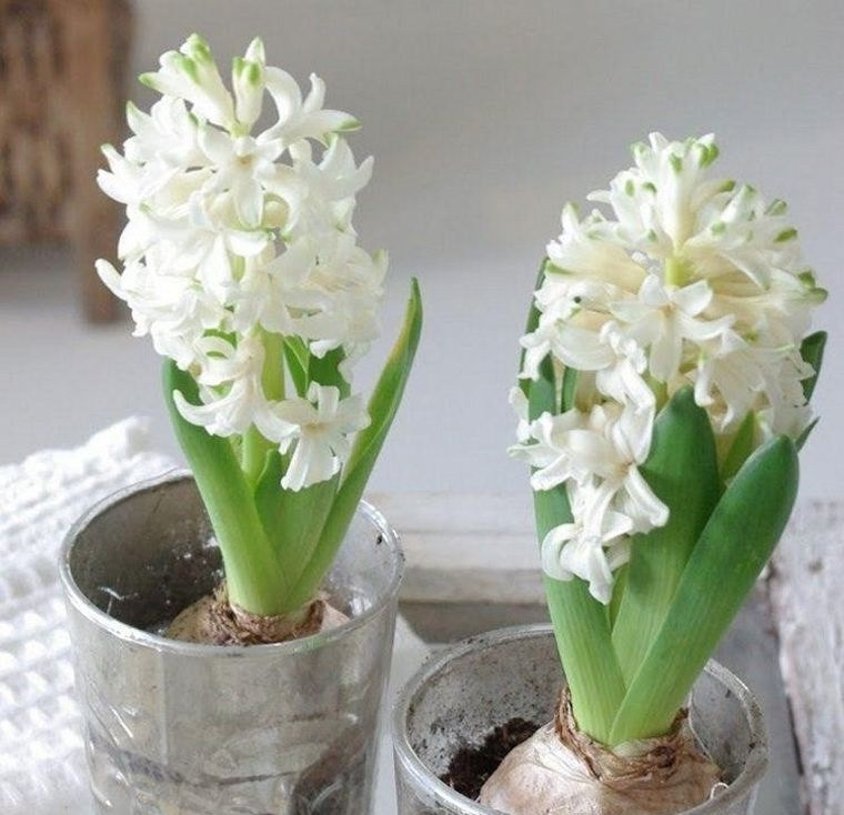 flores de jacinto blanco en interiores