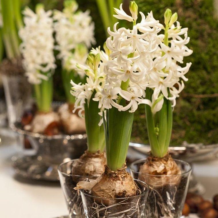 flores de jacinto bulbos primavera