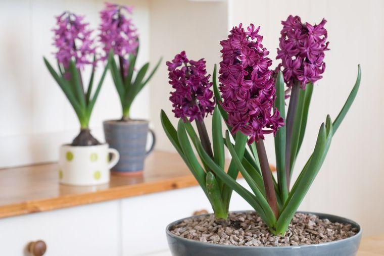 flores de jacinto color purpura