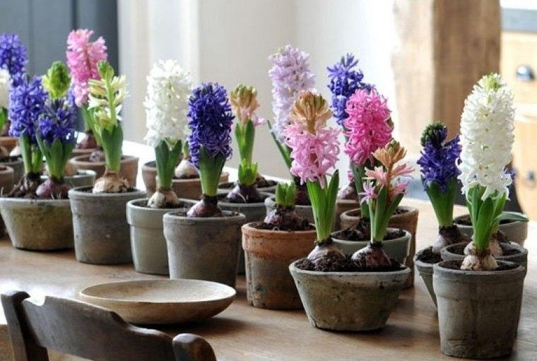 flores de jacinto cuidado interiores