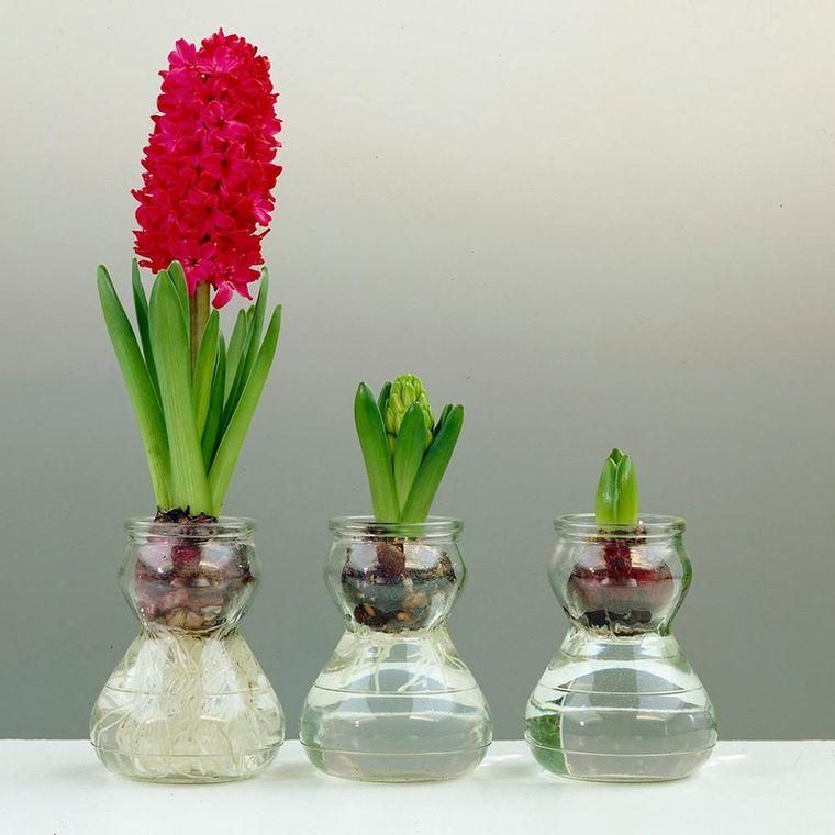 flores de jacinto cultivo interior
