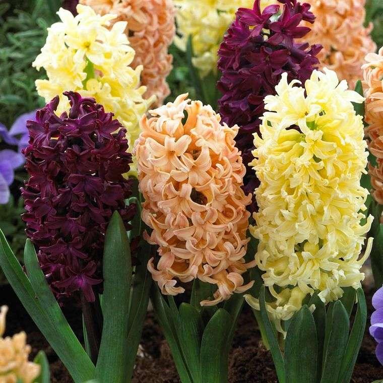 flores de jacinto diferentes colores