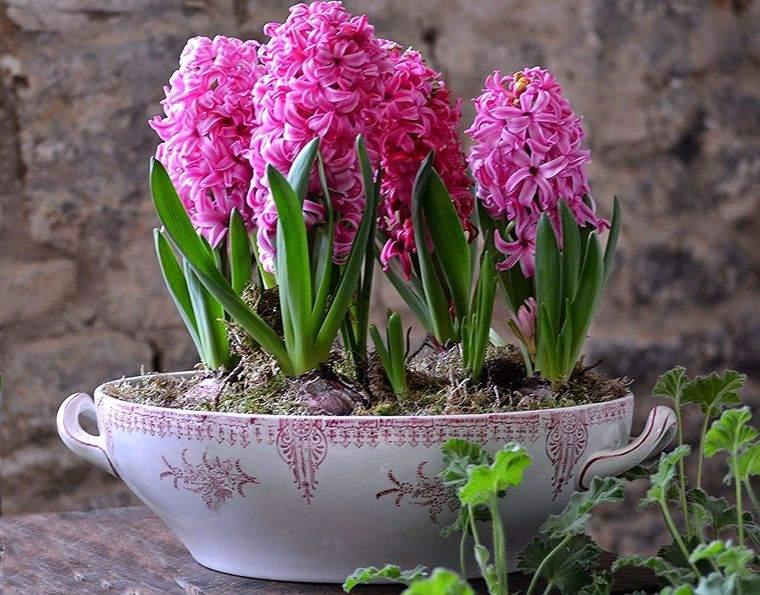 flores de jacinto en color rosa