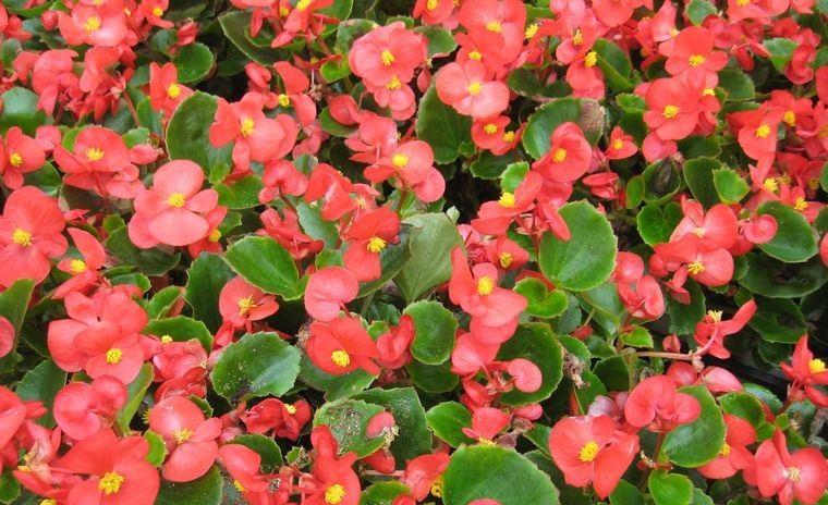 plantas de sol begonias