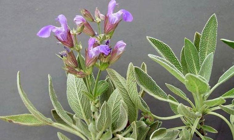 plantas de sol de salvia