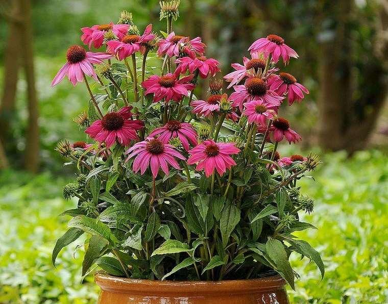 plantas de sol equinacea purpura
