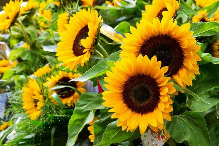 plantas de sol girasoles