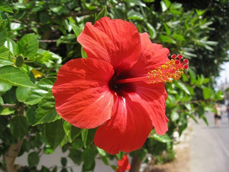 plantas de sol hibisco