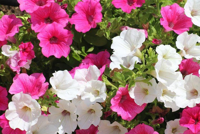 plantas de sol petunia