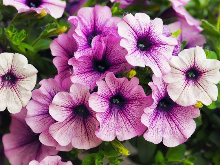 plantas de sol petunias