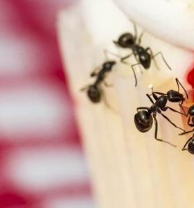 hormigas en casa como eliminarlas