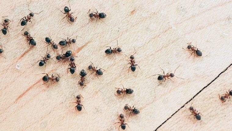hormigas en casa eliminar la molestia
