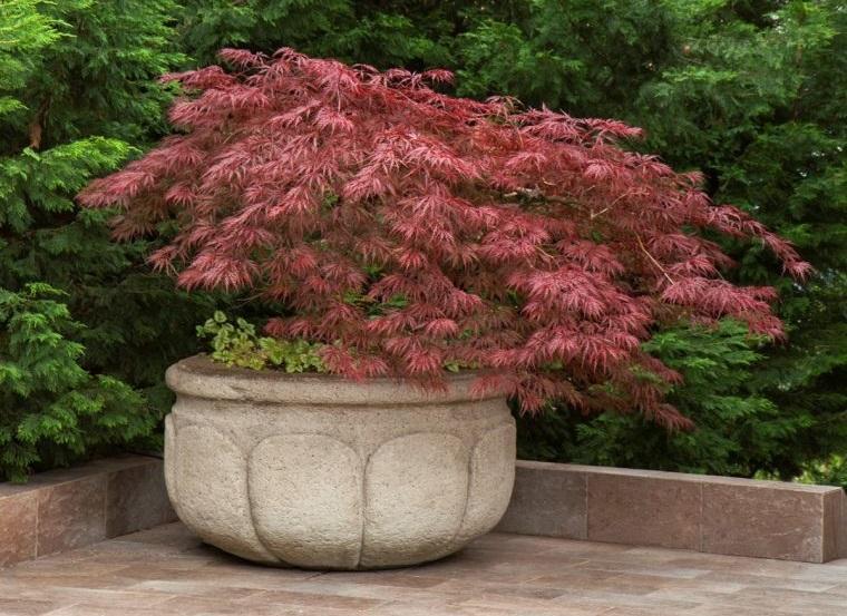 plantas de sombra arce japones