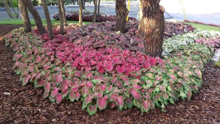 plantas de sombra caladium