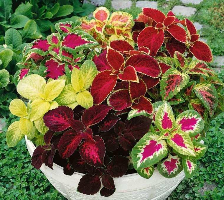 plantas de sombra coleo