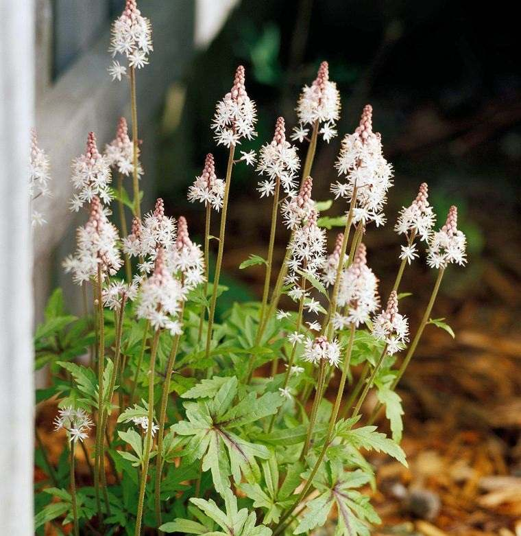plantas de sombra flores espumosa