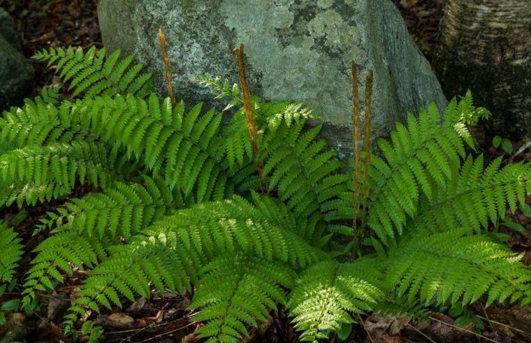 plantas de sombra helechos