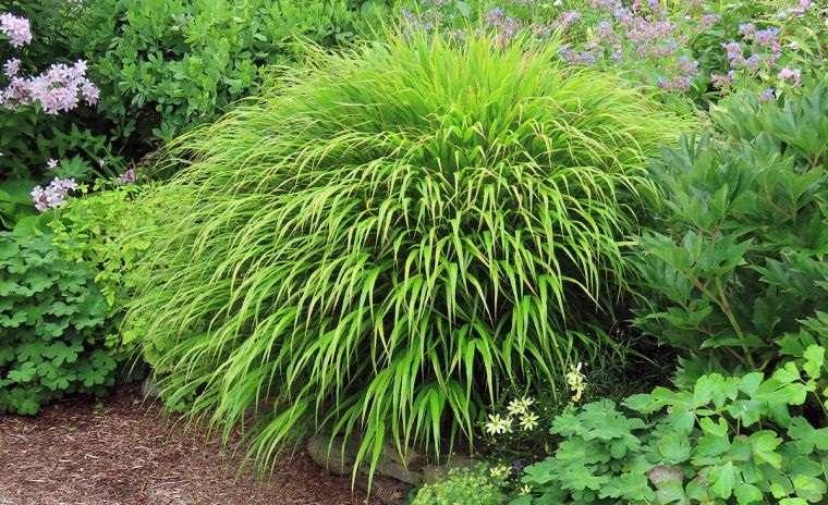 plantas de sombra hierba japones